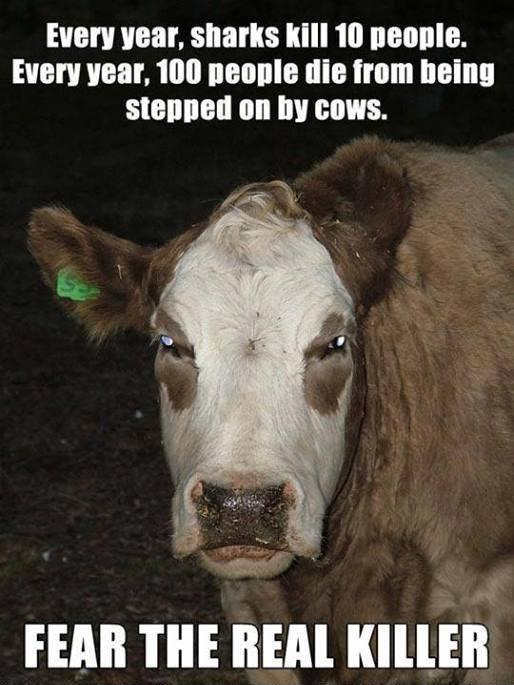 cow-dangerous