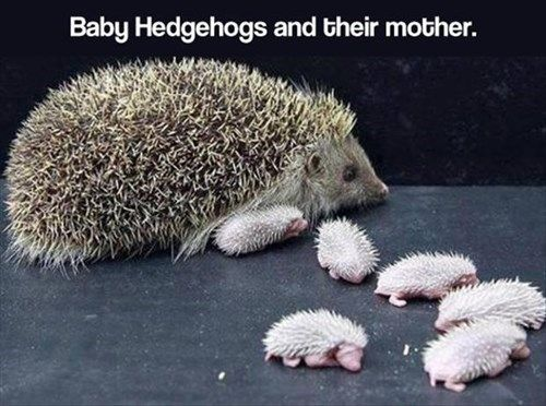 hedgehog-babies