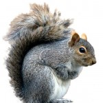 Grey-squirrels
