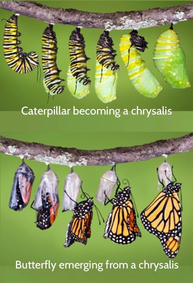 catrepillar-butterfly