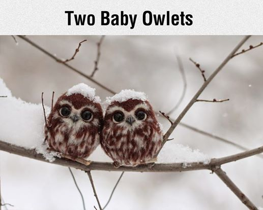 baby owlets