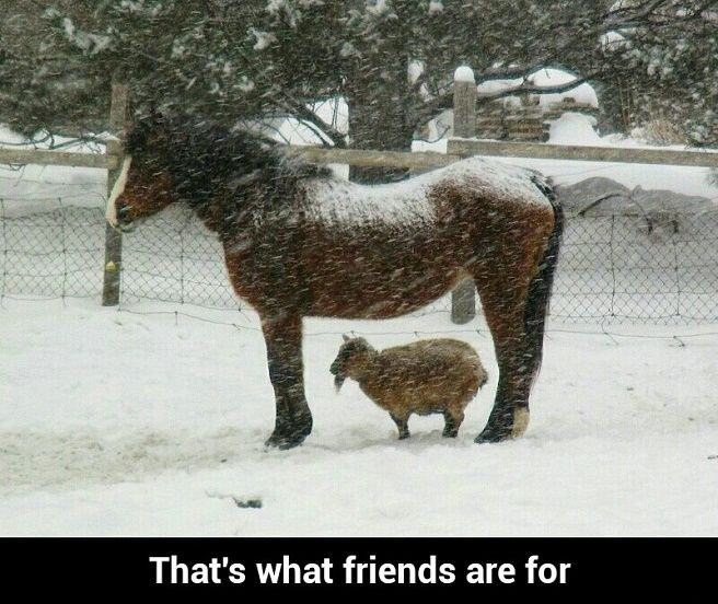 friends poney goat snow