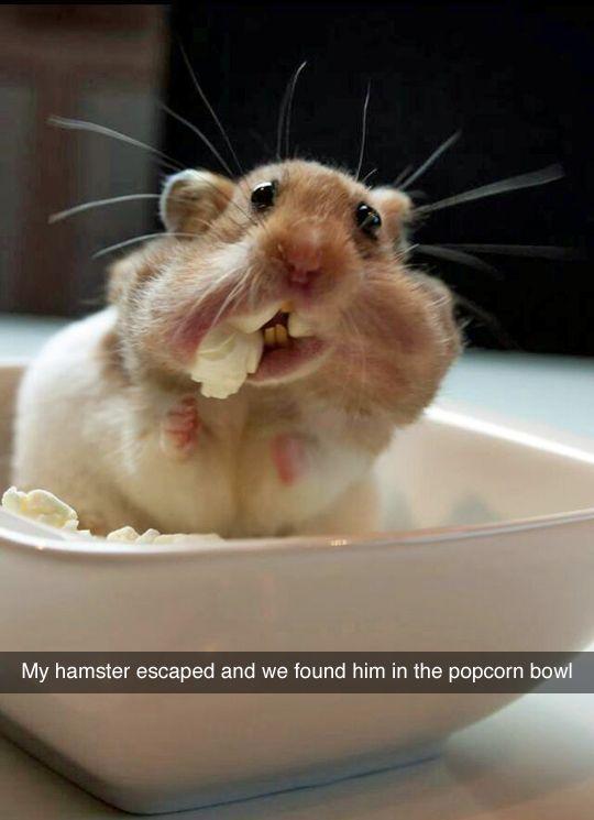 hamster popcorn