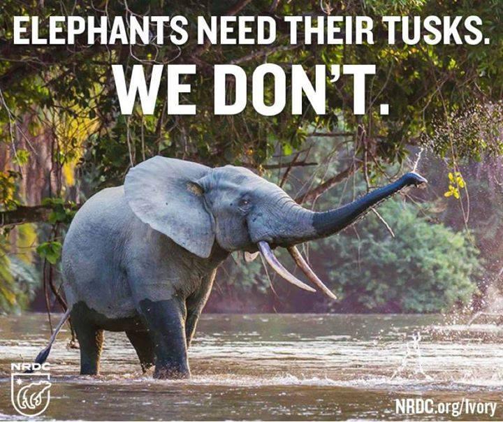 elephants need tusks
