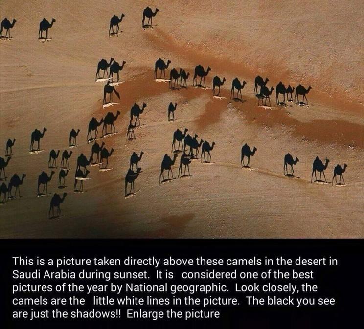 camels - shadows