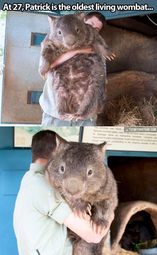 Wombat-big-hug