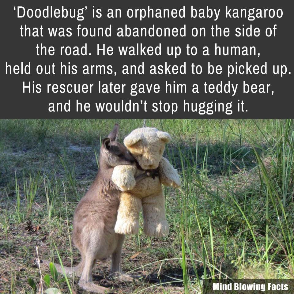 orphaned kangaroo