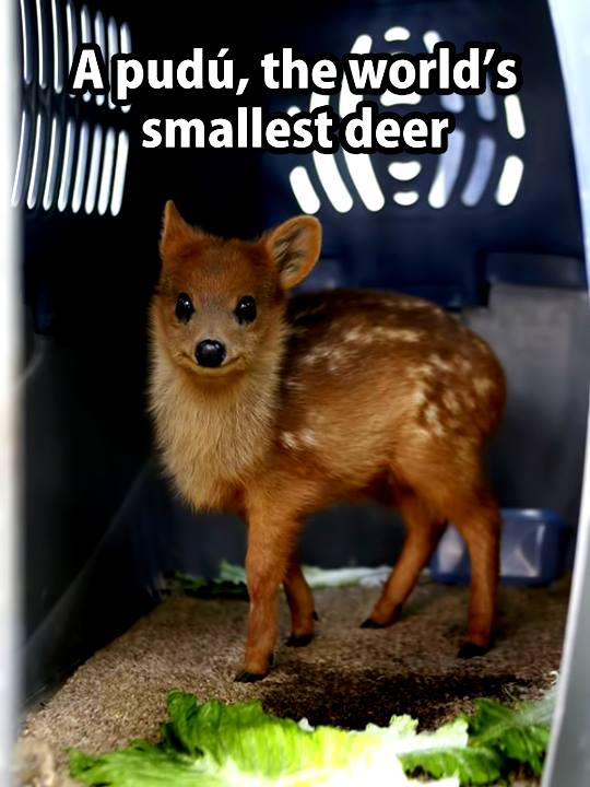 pudu world smallest deer