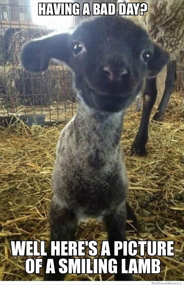 bad day baby lamb