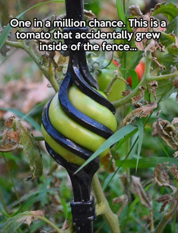 tomato growing in fence