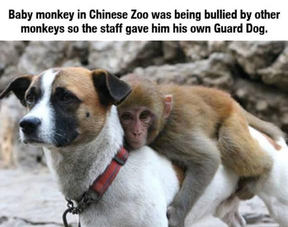 baby monkey guard dog