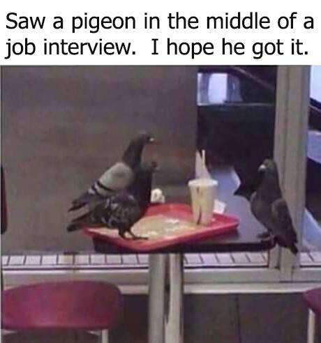 pigeon job interview